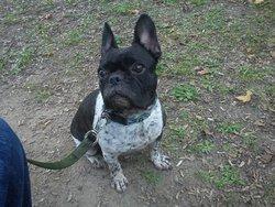 Capone, chien Bouledogue français