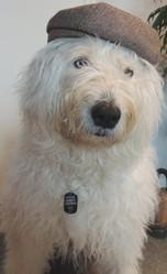 Caporal, chien Bobtail