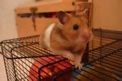 Capouchino, rongeur Hamster