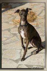 Cappuccino, chien Petit Lévrier italien
