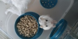 Cappuccino, rongeur Hamster