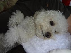 Capri, chien Bichon à poil frisé