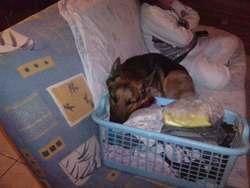 Caprice, chien Berger allemand