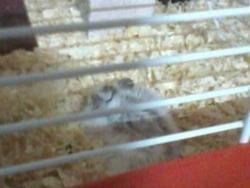 Caprice Au Paradis Des Hamster, rongeur Hamster