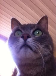 Capsule, chat Européen