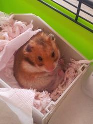 Capsule, rongeur Hamster