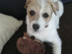 Capsule, chien Jack Russell Terrier