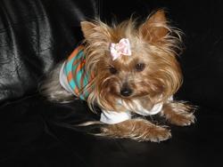 Capucine, chien Yorkshire Terrier
