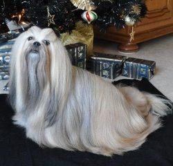 Capucine, chien Manchester Terrier