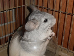 Capucine, rongeur Chinchilla