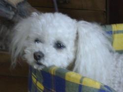 Capucine, chien Bichon à poil frisé