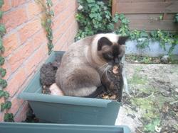 Capucine, chat Siamois