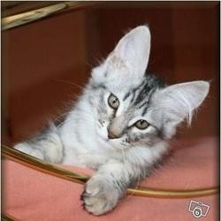 Capucine, chat Angora turc