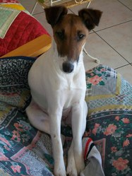 Capucine, chien Fox-Terrier