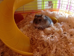 Capucine, rongeur Hamster