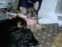 Capucine , chien Chihuahua