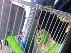 Capucine, rongeur Hamster