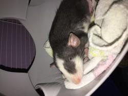 Capucino, rongeur Rat