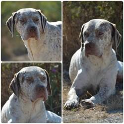 Capy Du Pech Du Cayrol, chien Braque du Bourbonnais