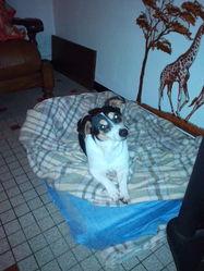 Cara, chien Jack Russell Terrier