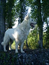 Cara, chien Berger blanc suisse