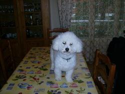 Cara, chien Bichon à poil frisé