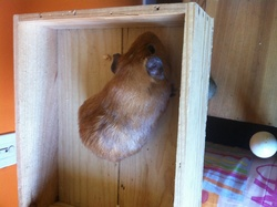 Caradoc, rongeur Cochon d'Inde
