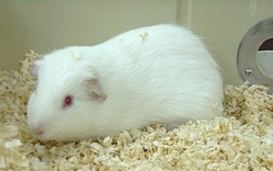Carambart, rongeur Cochon d'Inde