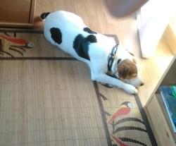 Caramel, chien Parson Russell Terrier
