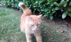 Caramel, chat Maine Coon