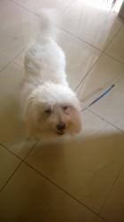 Caramel, chien Bichon maltais