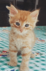 Caramel, chaton Gouttière