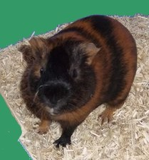 Caramel, rongeur Cochon d'Inde