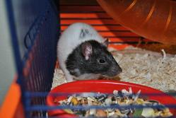 Caramel , rongeur Rat
