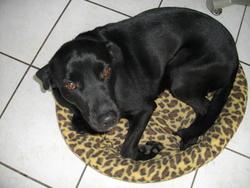 Caramel, chien Labrador Retriever