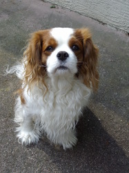Caramel, chien Cavalier King Charles Spaniel