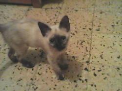 Caramel, chat Siamois