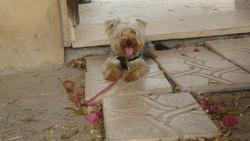 Caramel, chien Terrier tibétain