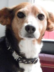Caramel, chien Beagle
