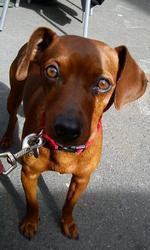 Caramel, chien Pinscher