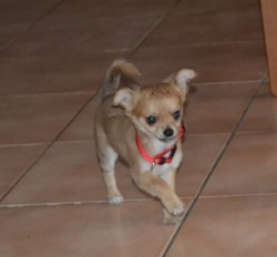 Caramel, chien Chihuahua