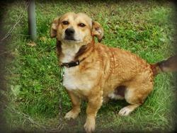Caramel, chien Teckel