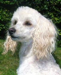 Caramel, chien Caniche