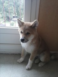 Caramel, chien Akita Inu