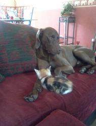 Caramel, chien Braque allemand à poil raide