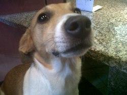 Caramel, chien Jack Russell Terrier