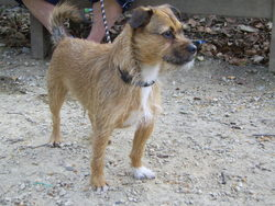 Caramel, chien Cairn Terrier