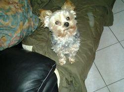 Caramel, chien Yorkshire Terrier