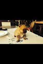 Caramel, chien Spitz allemand