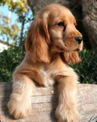 Caramel, chien Cocker américain